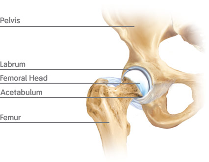 hipproblem.co.uk - the hip joint, Human Body